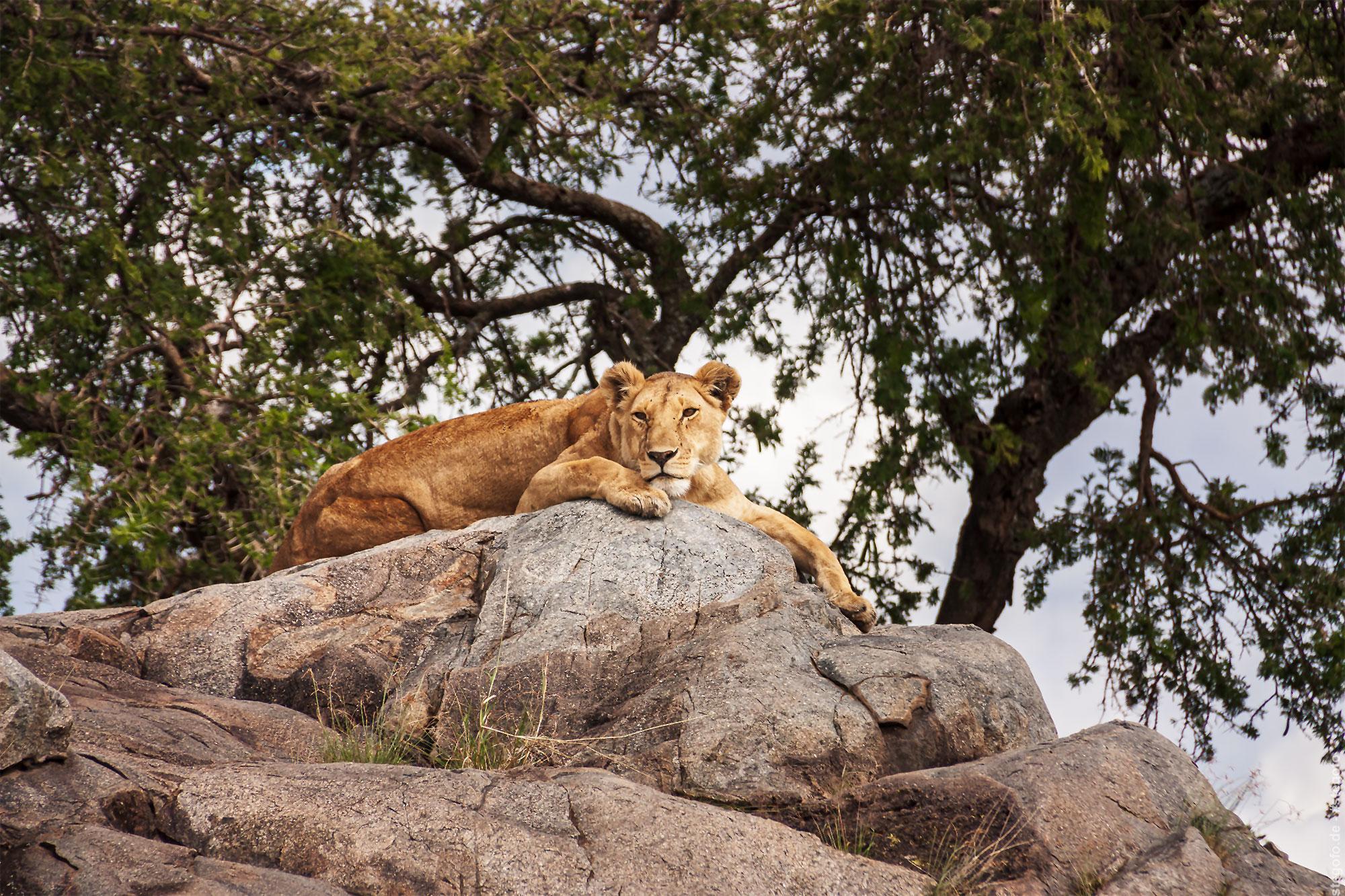 Die gelangweilte Löwin