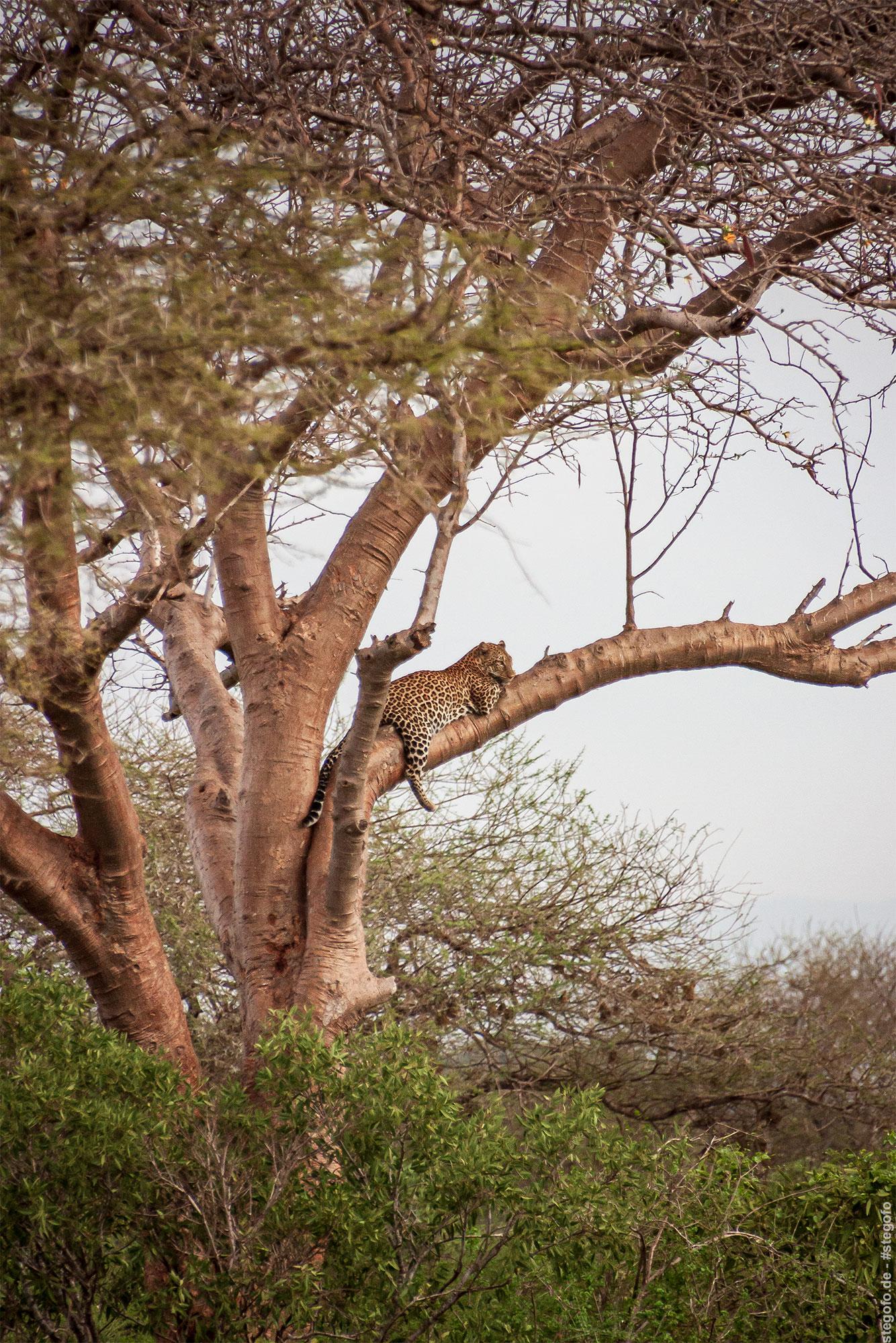 Der Leopard auf dem Baum