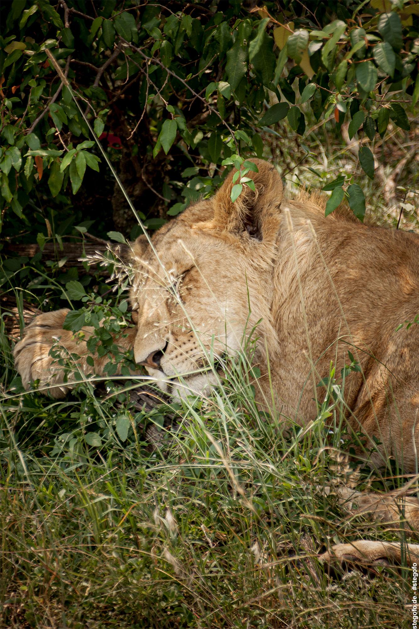Die schlafende Löwin