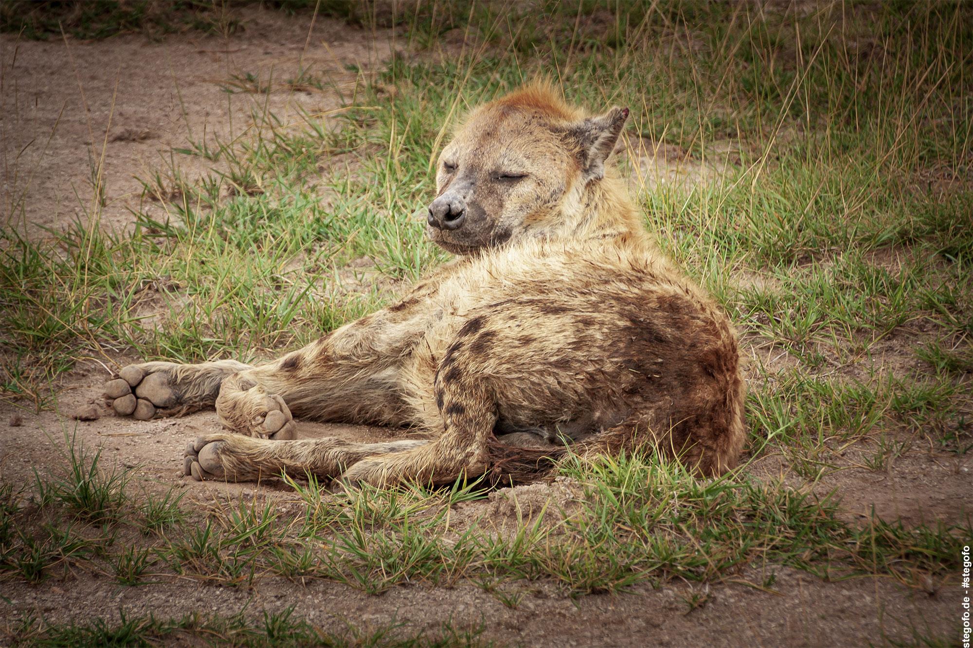Die verschlafene Hyäne