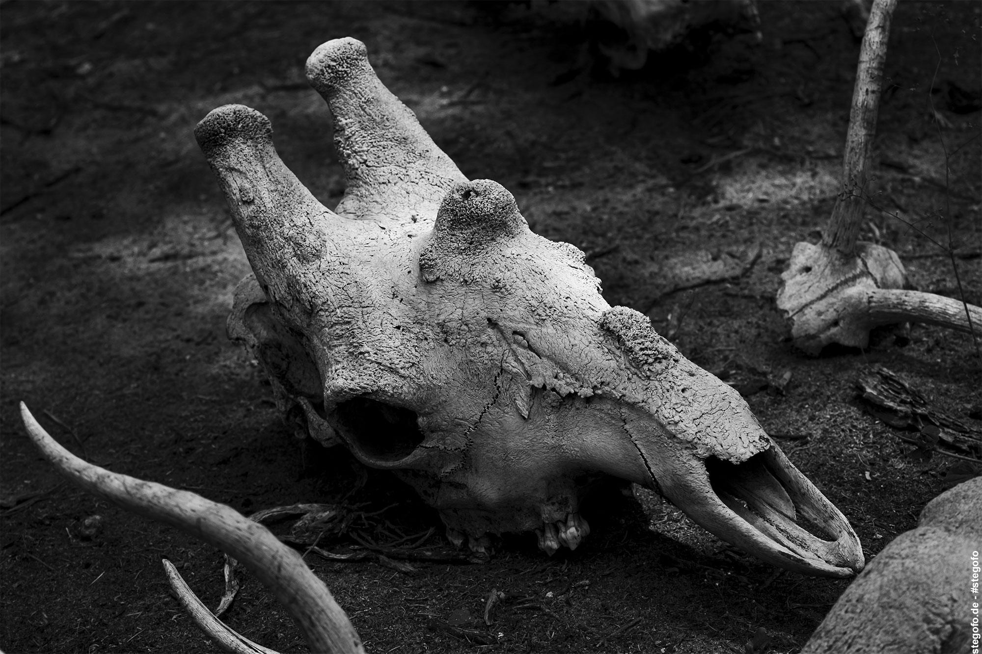 Der Giraffen Kopf