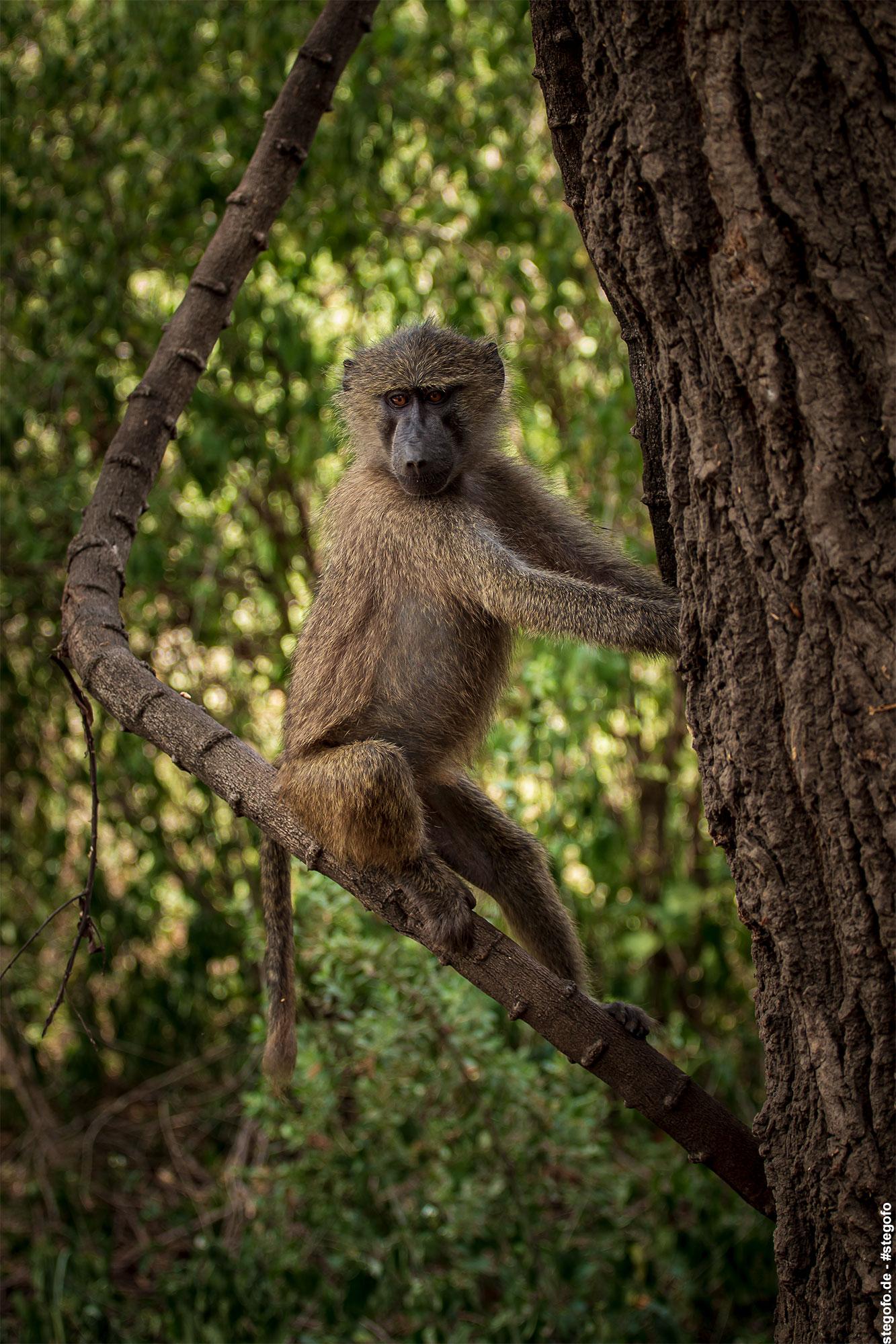 Der Affe auf dem Baum