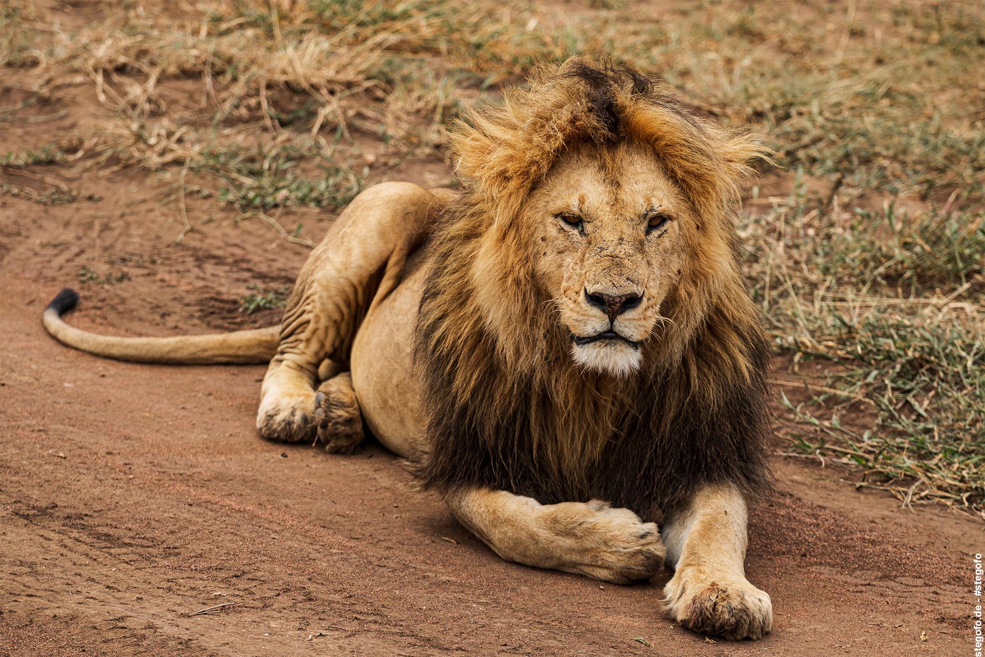 Der entspannte Löwe