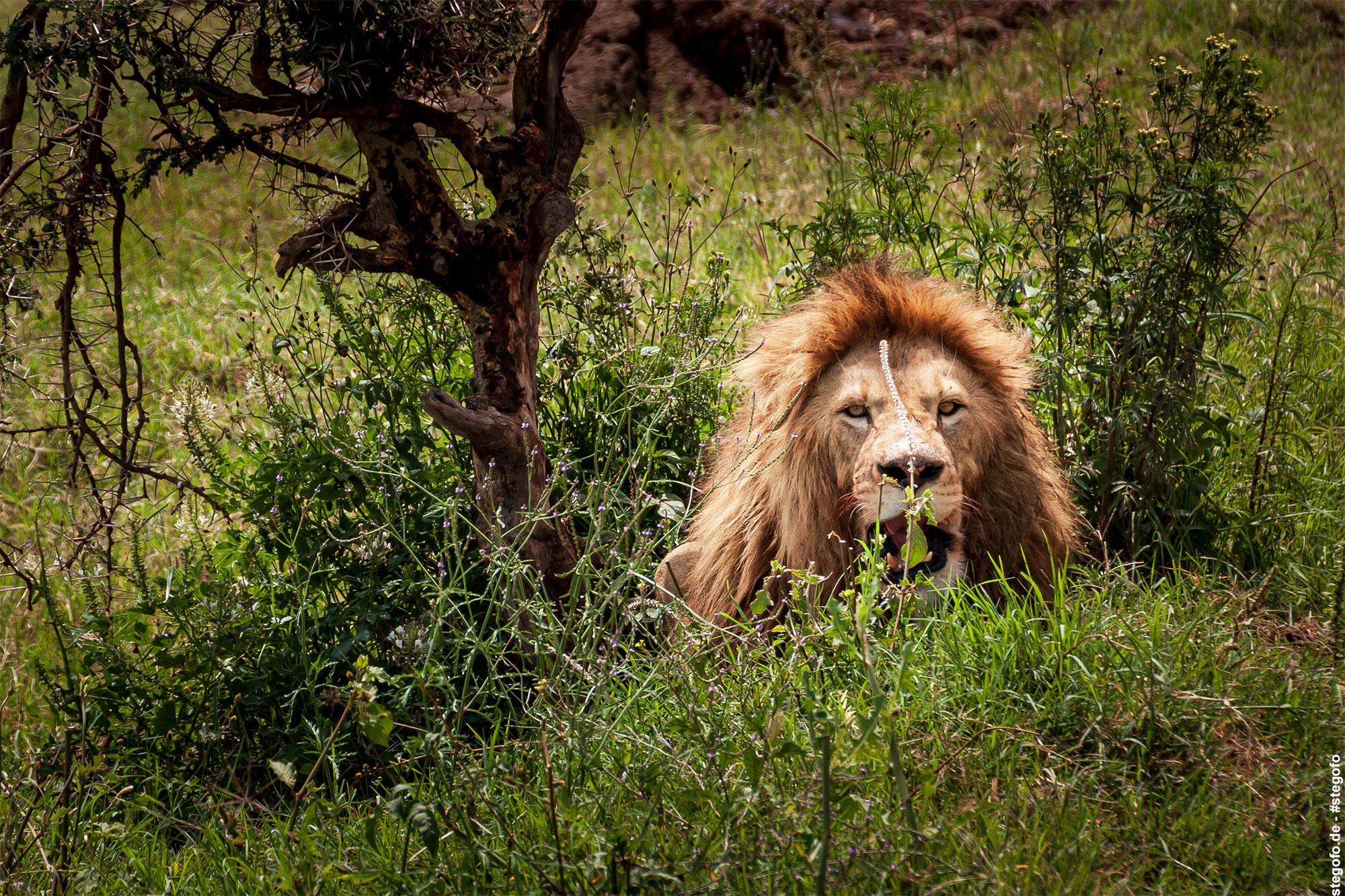 Der Löwe im Gebüsch