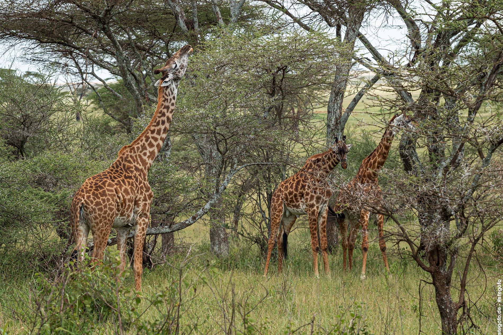 Die Giraffen lassen es sich schmecken - Serengeti Nationalpark - 02.2019