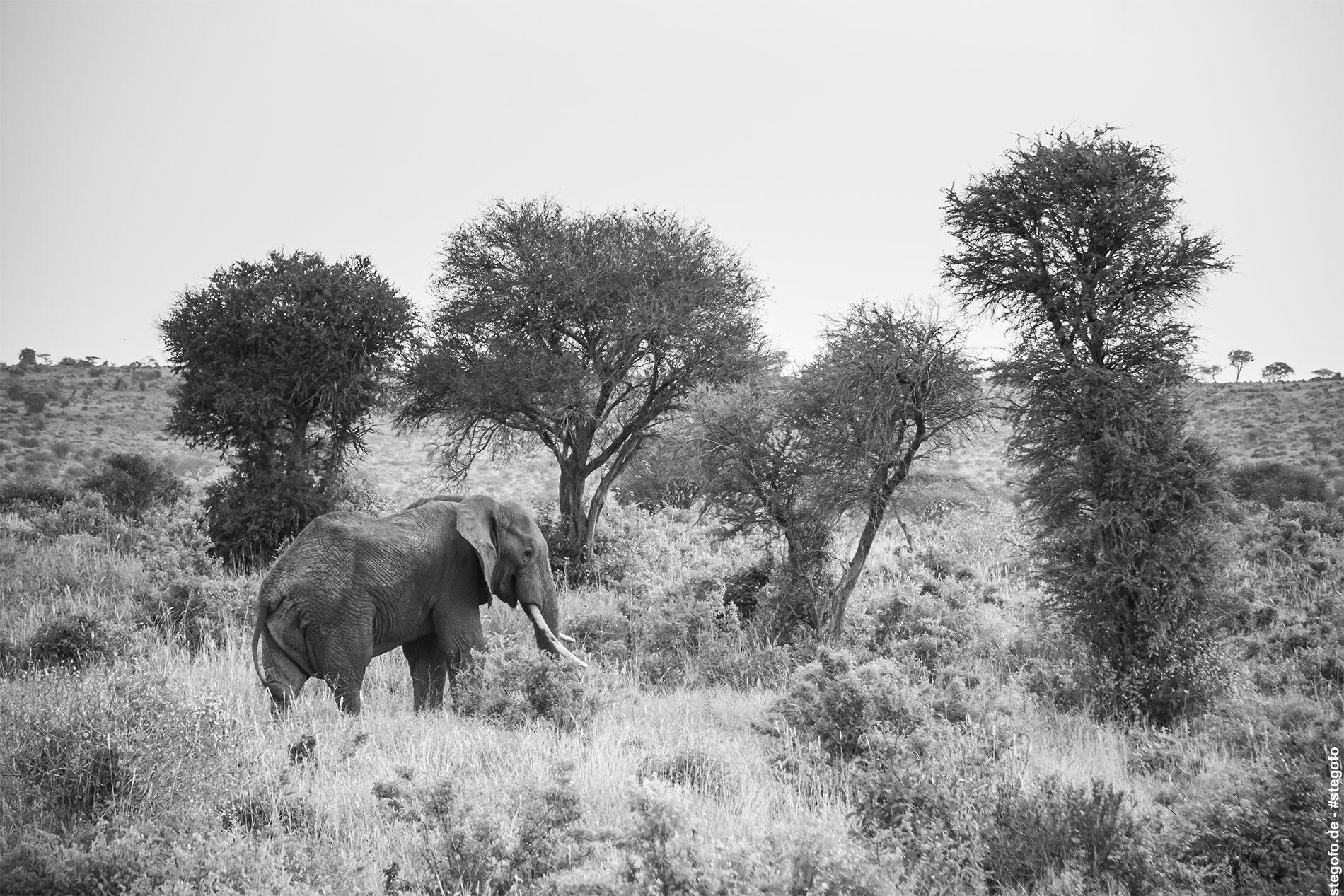 Der einsame Elefant in der Wildnis - Kenia - 02.2014