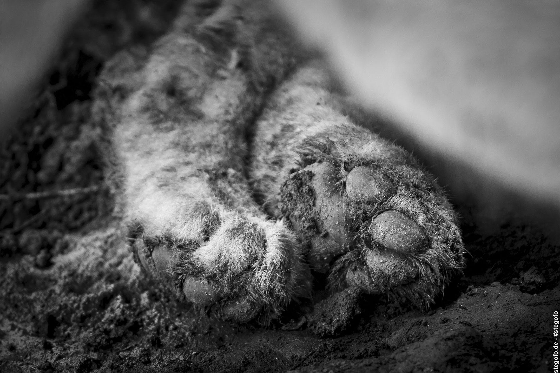 Die Löwenpfoten - Serengeti Nationalpark - 02.2019