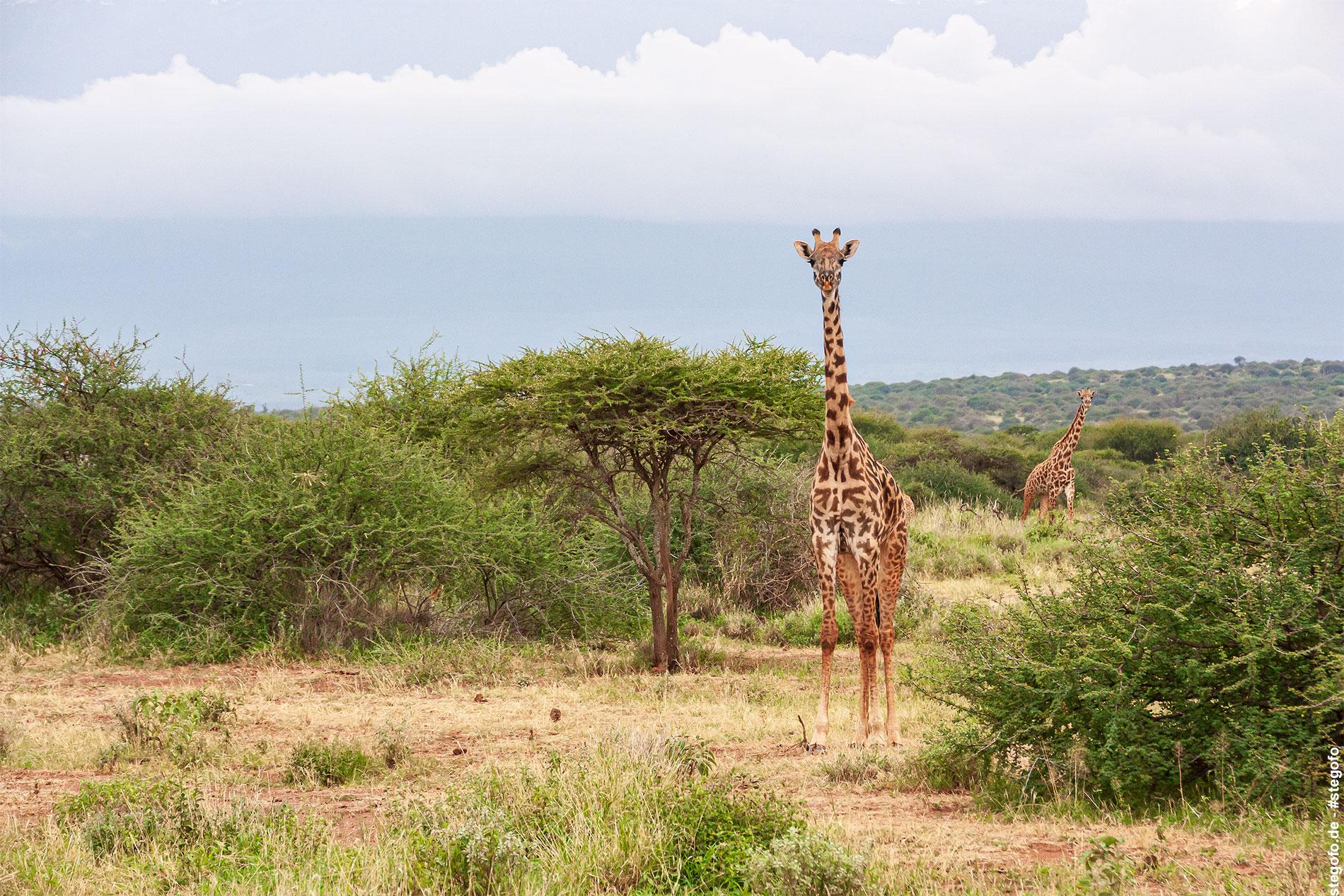 Die neugierige Giraffe