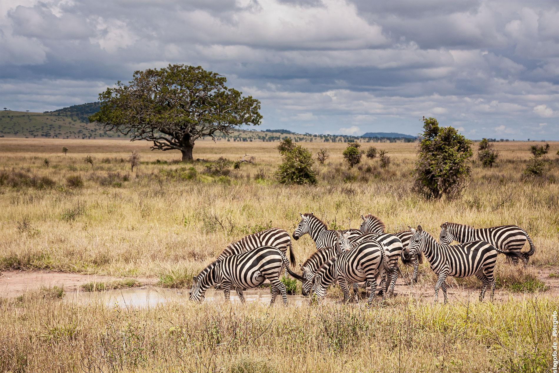 Die Zebras am Wasserloch - Serengeti Nationalpark - 02.2019